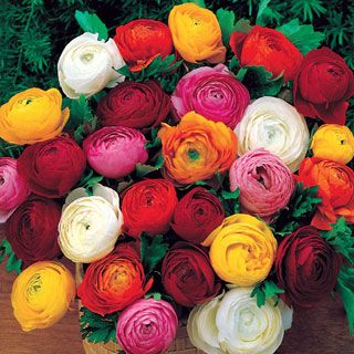 Persian Buttercup Mix - Pack of 10:  Grow a dazzling display of brilliant color with super-easy Ranunculus. These 10-inch plants sport bright, handsome ferny foliage and a multitude of showy semi-double and fully double blooms 2 inches or wider!