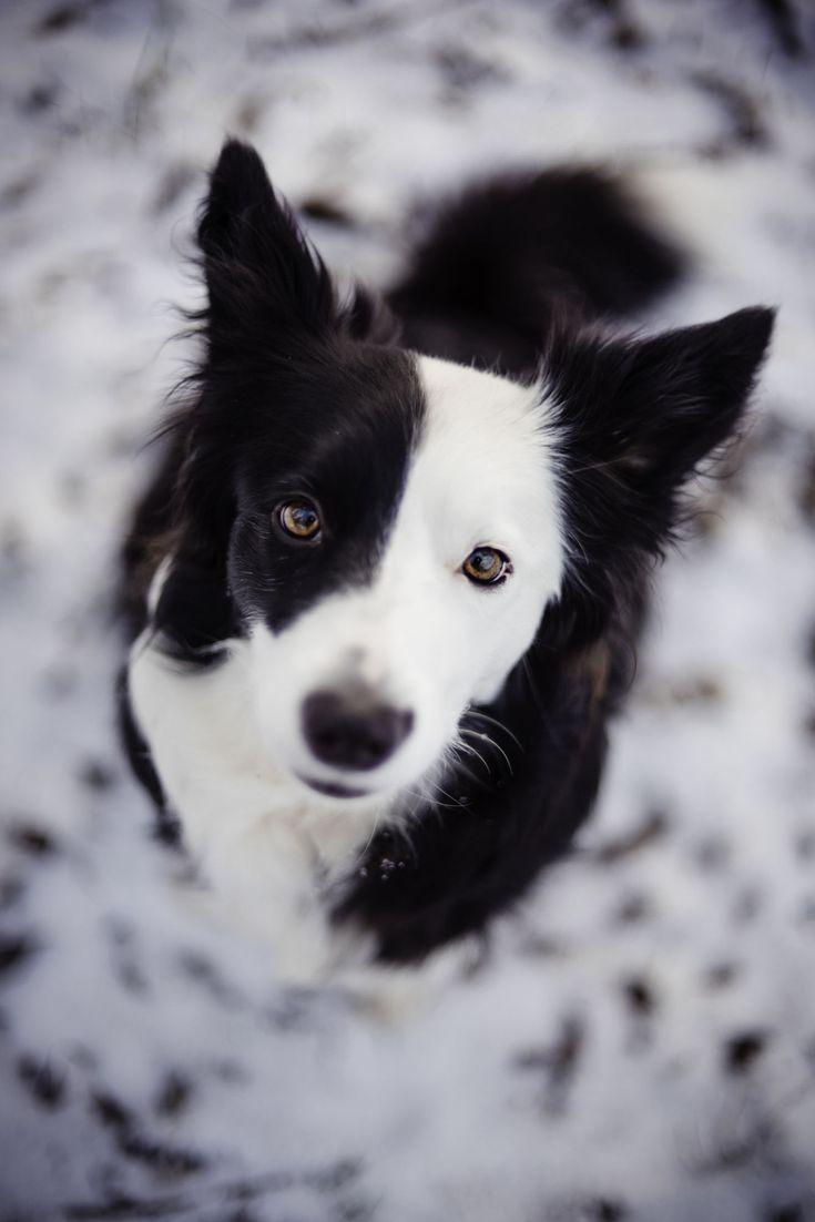 handsomedogs: Katerina Kasparova | Coco @KaufmannsPuppy