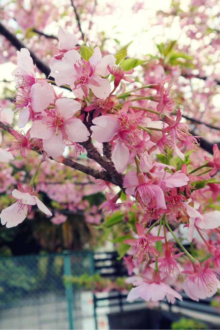 Sakura and cherry blossom season starts early February in Izu. A real micro-climate. Mission scuba diving from Tokyo to Izu, Japan - World Adventure Divers - read more on https://worldadventuredivers.com/2017/02/22/scuba-diving-tokyo-to-izu-japan/
