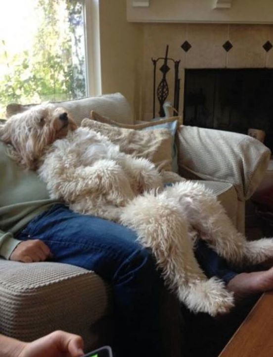 Wheaten terrier chillin with his humans!!                                                                                                                                                                                 More