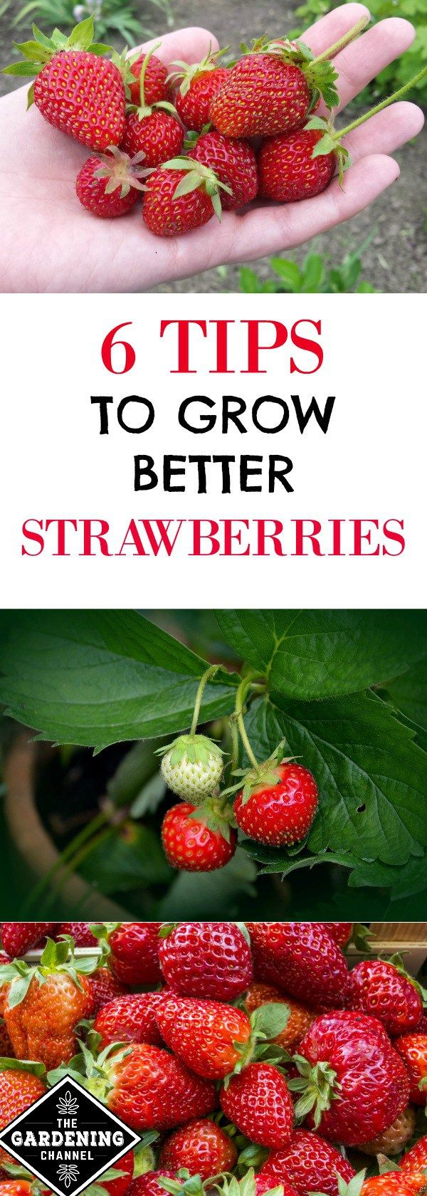 Strawberry Growing Tips. Learn where to plant strawberries, soil requirements, how to water, how to protect from pests and more.