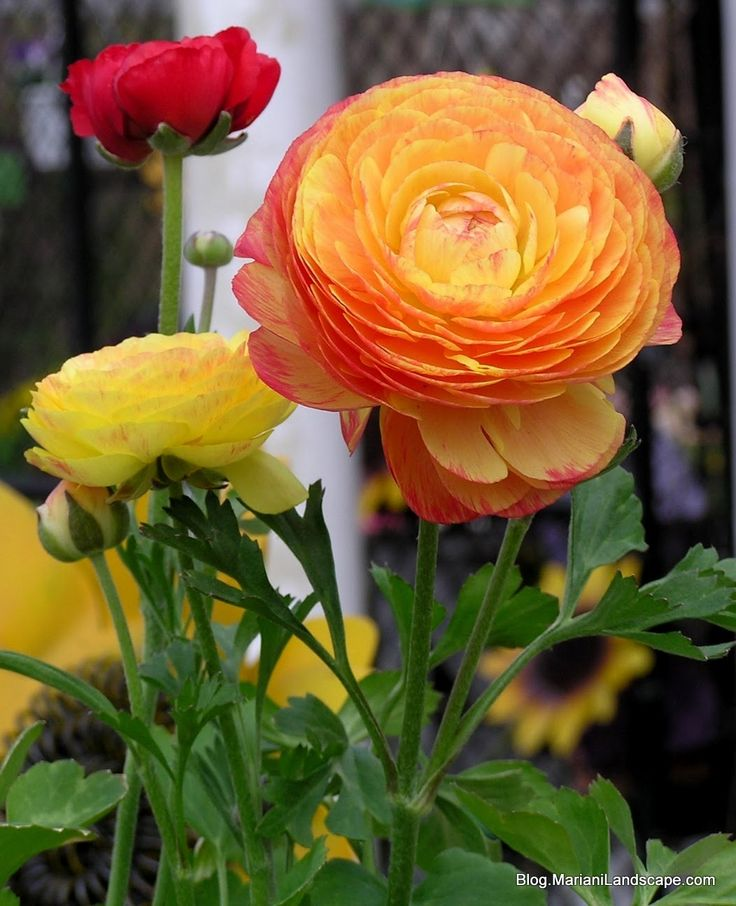 Wonderful blog post on Persian buttercups. Would like to have more of these in our garden.