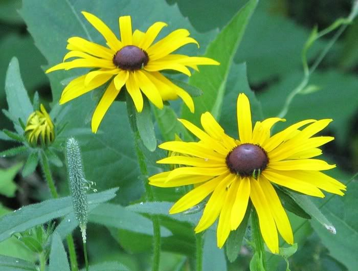 """The black-eyed susan """"Nigger Daisy"""" - Is a flowering plant in the composite family. Composite (pronounced kuhm PAHZ iht), is the common name for a large family of flowering plants. The scientific name for this family is Asteraceae or Compositae."""