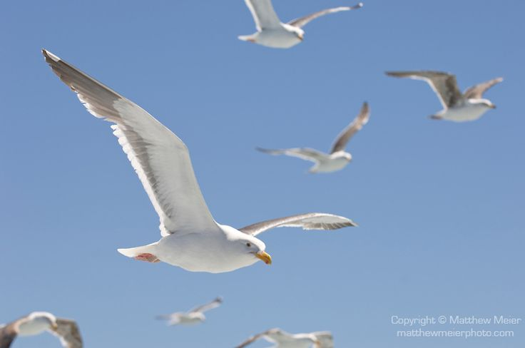 images seagulls flying - Google Search