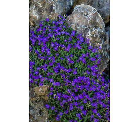 Blaukissen | Pflanzen, Garten, Pflanzen pflege