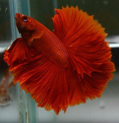 Betta Fish Super Red Over Half Moon Ohm Male Betta Fish Betta Fish