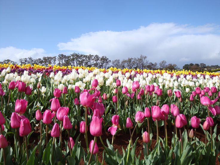 Tulip Festival, Tesselaar, Melbourne. Where I fell in love with tulips ❤