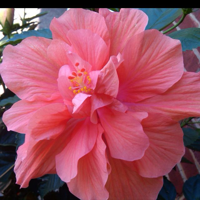 The gorgeous pink Hibiscus... take time to enjoy the beautiful things in life...♥