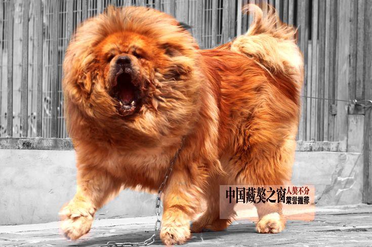Allevamento del Dharmapuri - Mastino Tibetano tibetan mastiff - allevamento del mastino tibetano, allevamento di tibetan mastiff cuccioli Mastino Tibetano la razza del Mastino Tibetano