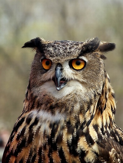 717 Best Eagle Owls Images On Pinterest Owls Barn Owls