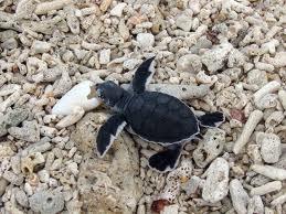 sandakan turtles turtle island - Google Search