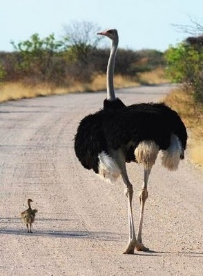 A mama ostrich walking with her baby! Where else could one see pictures like this every day!