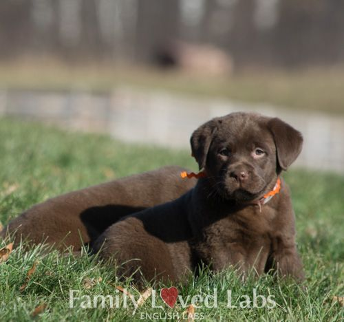 Dark Chocolate English Labrador pup - AKC registered English Lab Puppy - Family Loved Labs