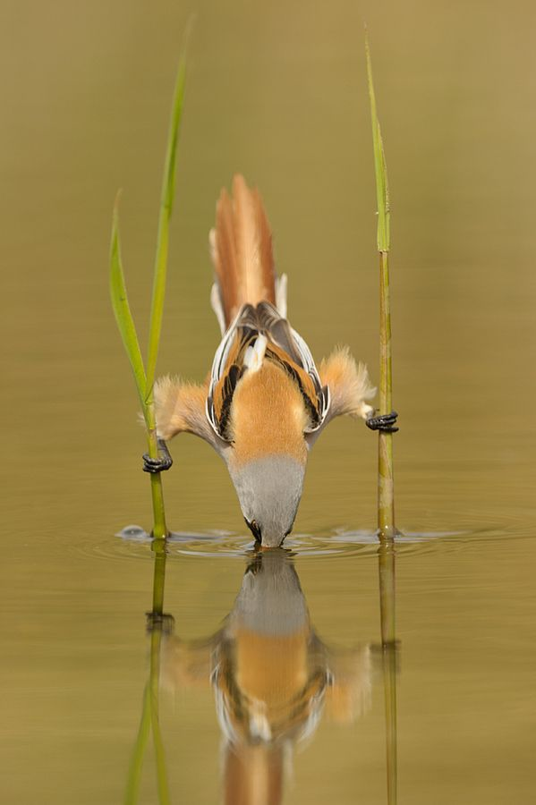 Bird using stilts to avoid getting wet. Either that or he's just dive-bomb ninja-speared a fish with two grass reeds.