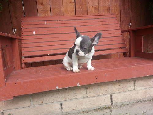 AKC blue french bulldog puppies