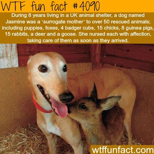 Jasmine the dog is the mother of over 50 rescued animals - WTF fun facts http://ibeebz.com