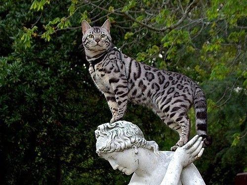 Gatto leopardo domestico - Ashera sulla statua
