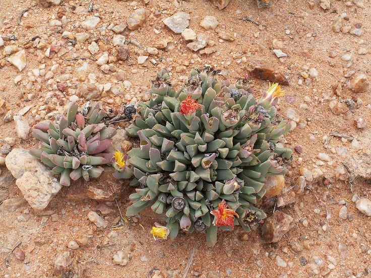 ice plant, Stomatium spec. , Aizoaceae, Richtersveld National Park