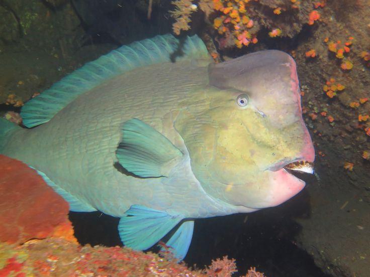 Bumphead Dive in Bali and stay at Villa Tengguli www.villatengguli.com