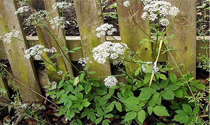Bršlice – kozí noha,  je plevel i léčivá rostlina   Magazín zahrada