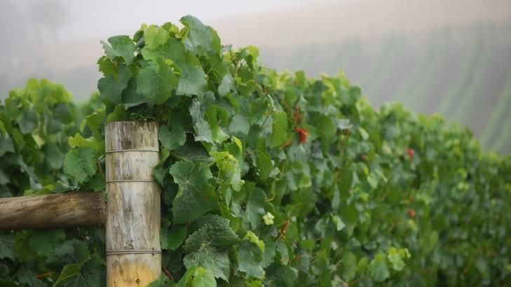 A vine of Home Hill Wines in Huonville, Huon Valley.