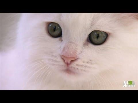 Playful Manx Kittens - #cute #kittens