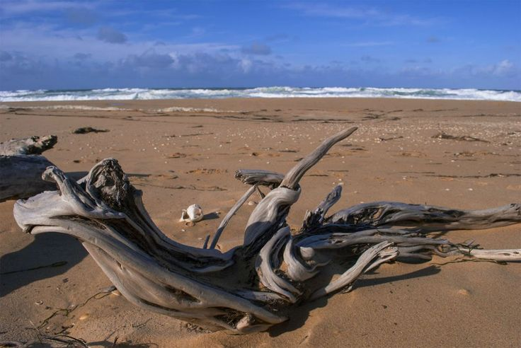 Twisted Driftwood on 90 Miles of Beach