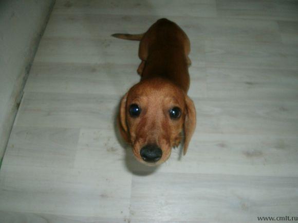 «Победный» щенок таксы, девочка — родилась 9 мая :)