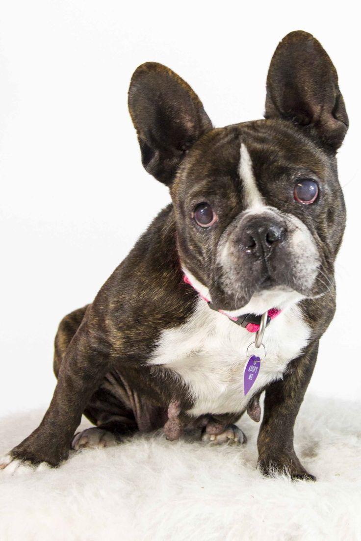 French Bulldog dog for Adoption in St. Louis Park, MN. ADN