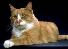 AMERICANO DE PELO CORTO American Shorthaired Procede de los gatos llevados a América desde Europa por emigrantes en el siglo XVII y posteriormente con aportes de británico de pelo corto, fijándose la raza hacia 1900.
