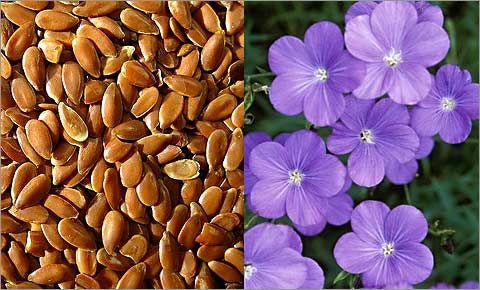 leneno seme,blagotvorno za zenata