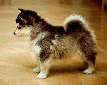 husky-corgi-mix: Literally one of the cutest dogs I've ever seen!