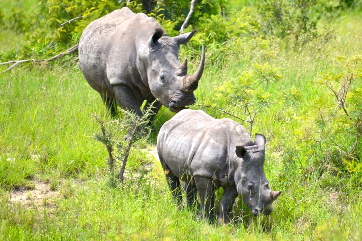 White rhino, mother and calf, Kruger, South Africa. #WhiteRhino #Rhino #HvidtNæsehorn #Næsehorn #KrugerNationalPark #DagamaTravel #SouthAfrica,
