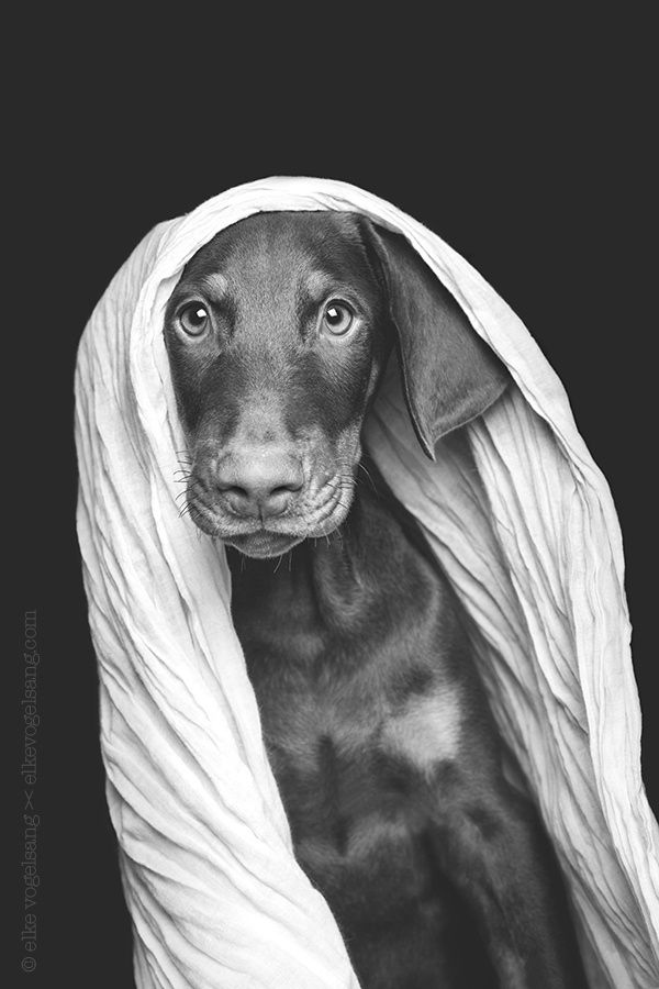 Moko, the doberman puppy by Elke Vogelsang. The greatest love is a mother's; then a dog's; then a sweetheart's. ~Polish Proverb