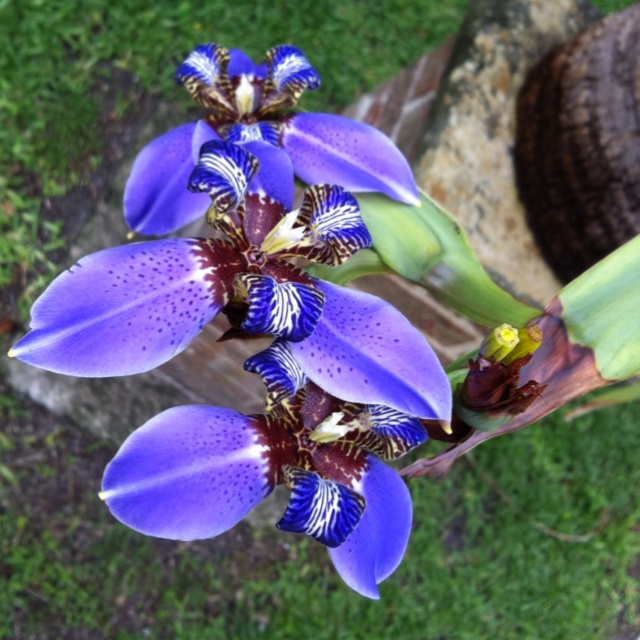 Bearded blue purple flower growing out by the mailbox