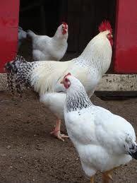 delaware chicken - Google Search