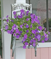 Tips for Petunias - how to keep them blooming, how to water, when to fertilize