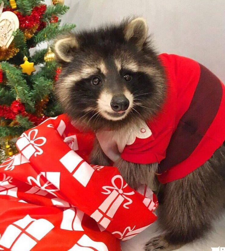 фото енота в новый год данном списке