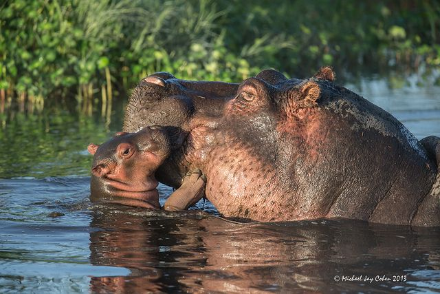 funnywildlife:    Hippo Baby by MyKeyC on Flickr.  This little guy was the smallest in a pool of at 75 or more hippos. I particularly like his smile and fingernails.#Arusha