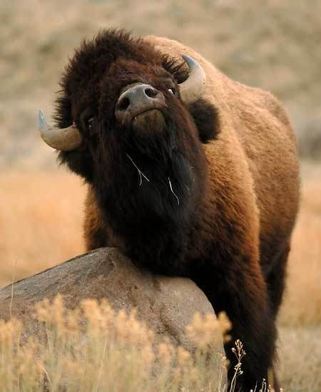 bison with an itch