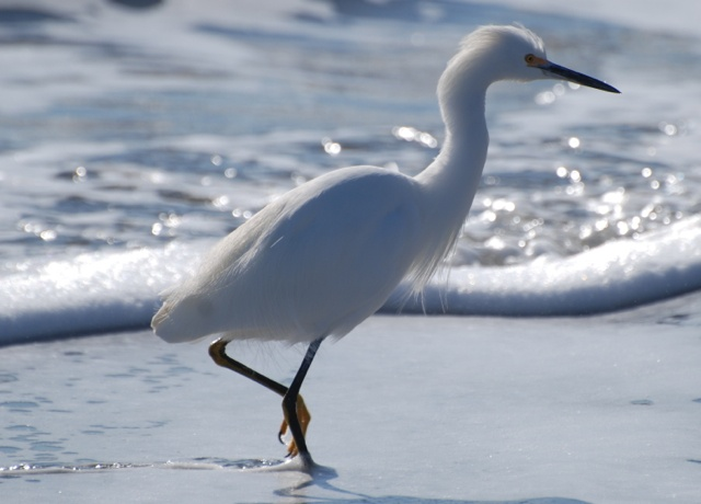 Snowy egret at Monterey Bay National Marine Sanctuary yesterday. Beautiful bird!    Love California wildlife? Follow us to stay connected and help protect the remarkable wildlife of California.