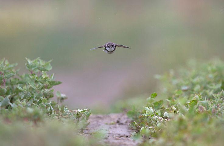 Tiny Jet, Sand martin (Riparia riparia) by BogdanBoev