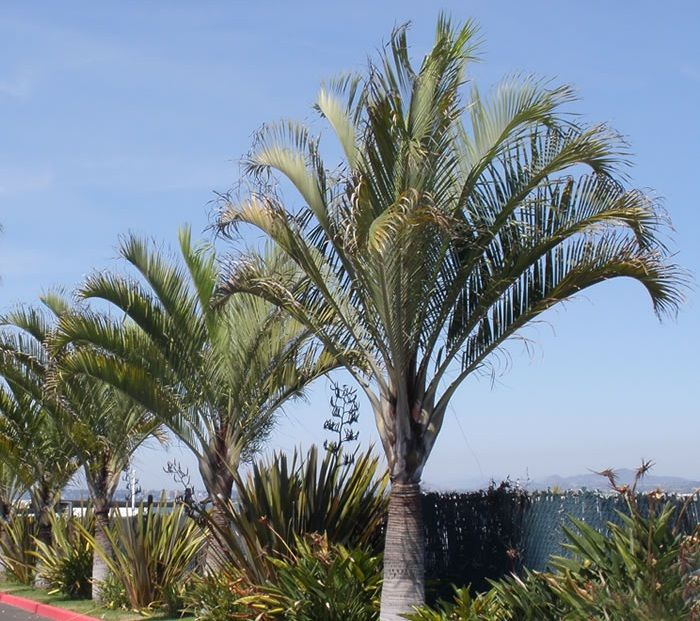 Palmeira-triângulo (Dypsis Decaryi)