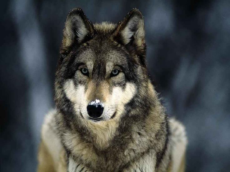 wolf head front view - Google Search | animals | Pinterest ...