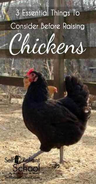 Three essential things to consider before raising chickens, either in a semi-urban or farm setting. #beselfreliant: