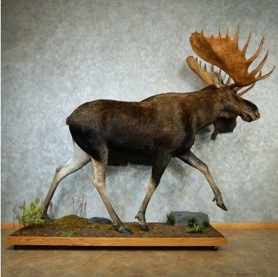 This breathtaking life-size Canadian moose taxidermy mount is for sale @thetaxidermystore.com