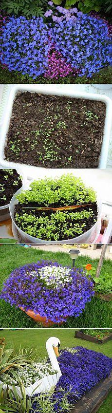 Выращивание лобелии рассадой | Дача - впрок