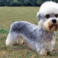 #dogalize Dog breeds: Dandie dinmont terrier characteristics and behavior #dogs #cats #pets