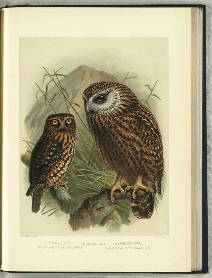 NZ Morepork by JG Keulemans (from Walter Buller's 'A History of The Birds of New Zealand' - 1870's)
