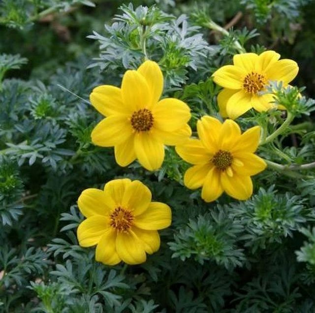 79 best yellow n gold flowers and plants images on pinterest bidens flare petite gold giant clear yellow flowers cloak this compact grower mightylinksfo